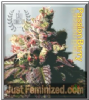Cali Connection Passion Berry 6 Fem Cannabis Seeds
